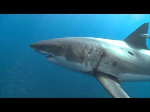 Guadalupe - Tauchen mit dem Weißen Hai - Adrenalin pur!