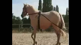 Alpen acres Farm Morgan Horses in France