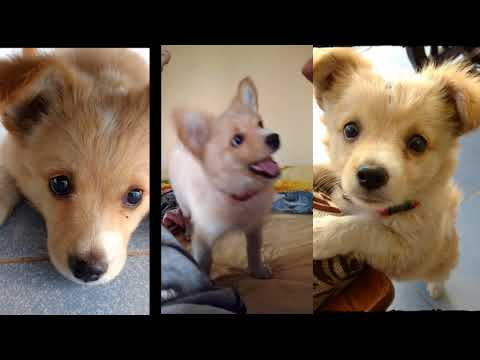 Jack Russell Terrier and Pomeranian Cross Dog | Bruno