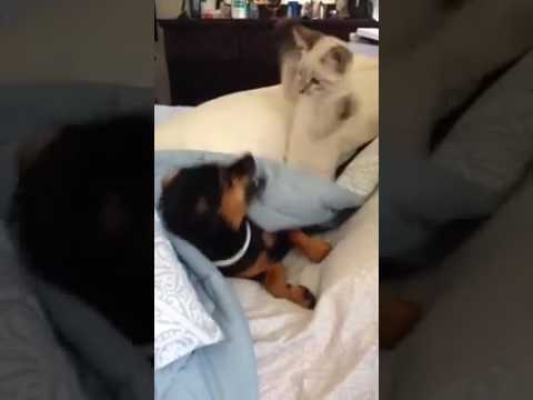 Dogs and cats fighting on bed for blanket