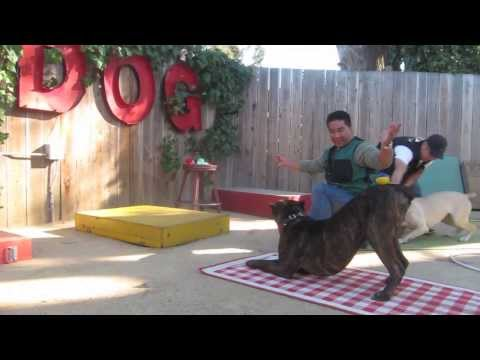 Cane Corso at Canine Circus School