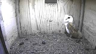 Barn Owl's Behaviour In Box, Leaves - Barn Owl Trust Nestcam - Wildlife Tv - 6
