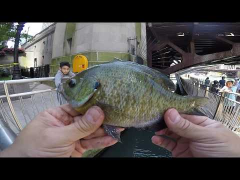 Chicago River Family Fishing For Sunfish