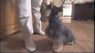 Silky Terrier -  Abc Canino - EspaÑol