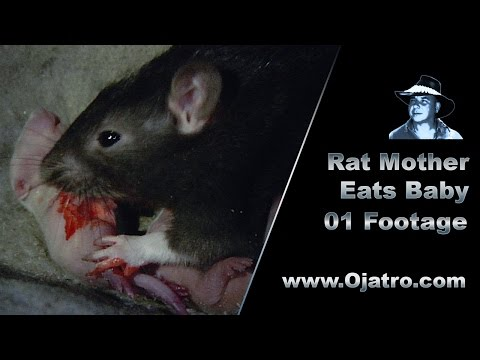 Rat Mother Eats Baby 01 Stock Footage