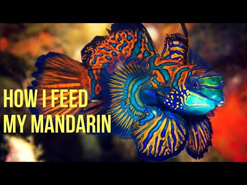 How To Get New Green Mandarin Dragonette Fish To Feed
