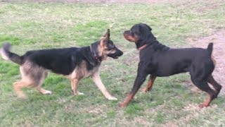 A Strong German Shepherd Tests Strong Rottweiler