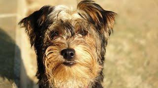 Yorkshire Terrier Eğitimi ( Temel İtaat Eğitimi )