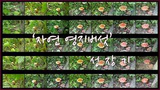 [자연산] [영지버섯] 성장기록 [이렇게 자라는거였어?…