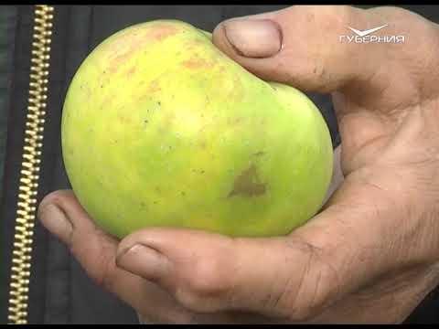 Зимние сорта яблок. Удачные заметки