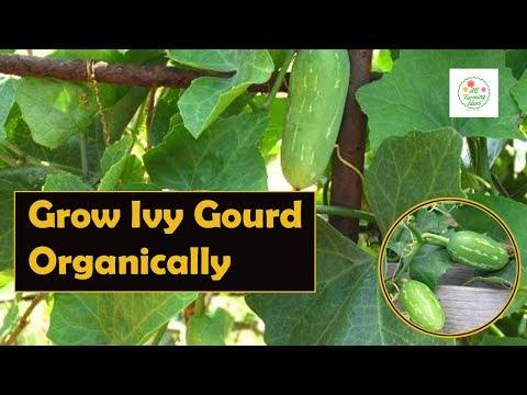 Grow ivy gourd organically | Grow Tindora Organically | Do it Guide step by step (Hindi)