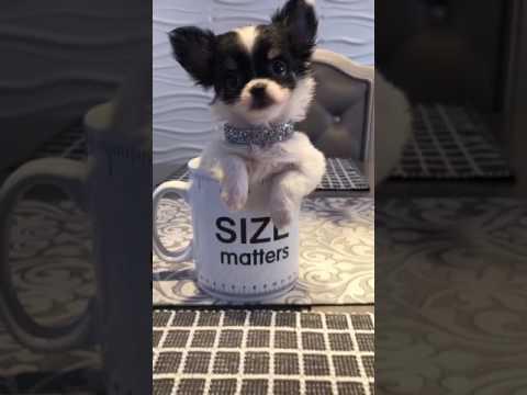 Cutest Chihuahua Puppy EVER!