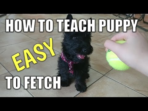 How to teach a puppy to Fetch (easy puppy trick)