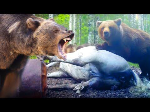 Как рожает медведь