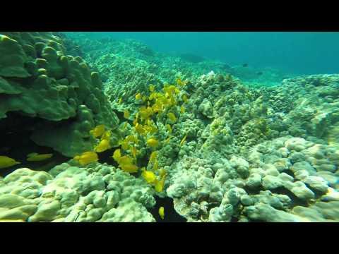 Honeymoon 072 Two Step Yellow Fish Hawaii