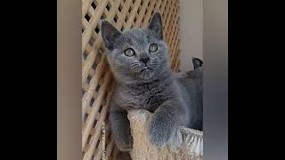 Enrico большой игрун.  британский голубой котик.