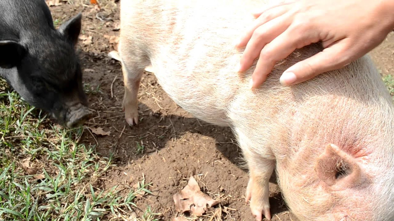 petting the pig youtube