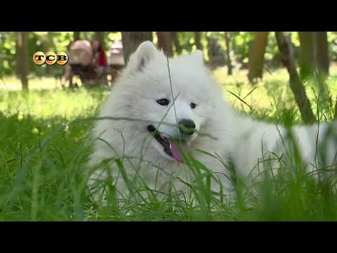 Собака породы самоед