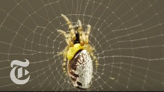 Repeat youtube video Zombie Spiders | ScienceTake | The New York Times