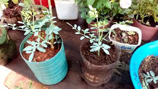 Como Plantar Arruda Em Vasos – Qual o Segredo Para Dar Certo