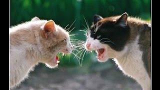 Кошачьи бои.