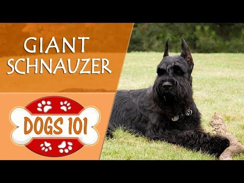 Dogs 101 - GIANT SCHNAUZER - Top Dog Facts About the GIANT SCHNAUZER