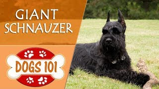 Dogs 101  GIANT SCHNAUZER  Top Dog Facts About the GIANT SCHNAUZER