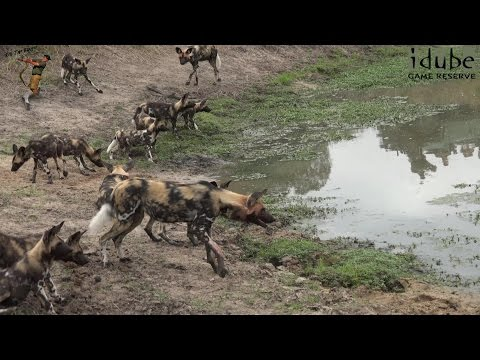 African Painted Dogs Upset Hippo