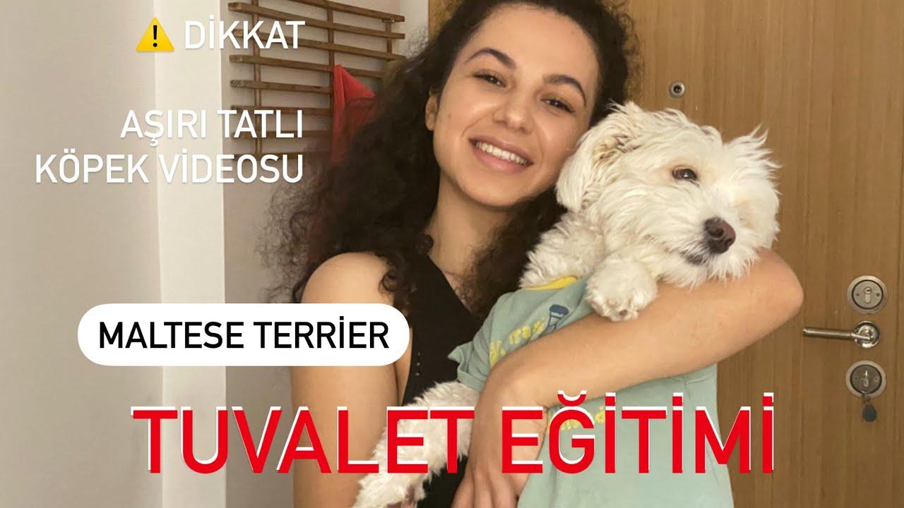 Maltese Terrier, Köpek Tuvalet Eğitimi, En basit yöntem