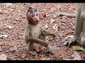 Pity Appetite baby monkey cry & scream maybe it need more milk & finding mom monkey