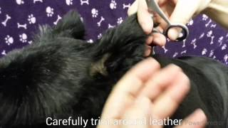 Dog Grooming Scottish Terrier - Ear Shaping