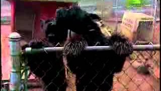 Schnauzer - Dog Breed