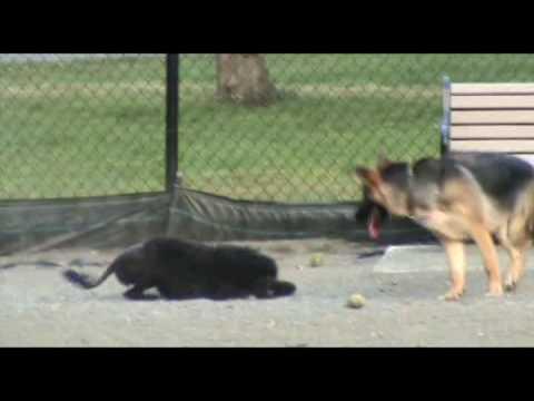 Dog Pack Behavior