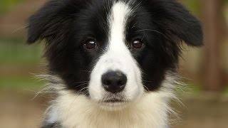 Daisy - Border Collie Puppy - 2 Week Residential Dog Training at Adolescent Dogs