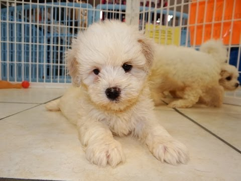 Malti Tzu Puppies Dogs For Sale In Denver Colorado Co