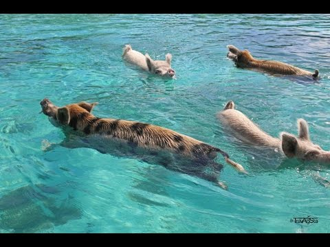 The Swimming Pigs - Wildlife of the Exumas - Visual Vibes by TravAgSta!