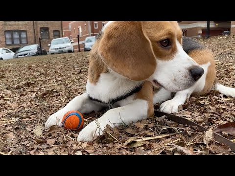 Cute beagle has a funny way of playing fetch