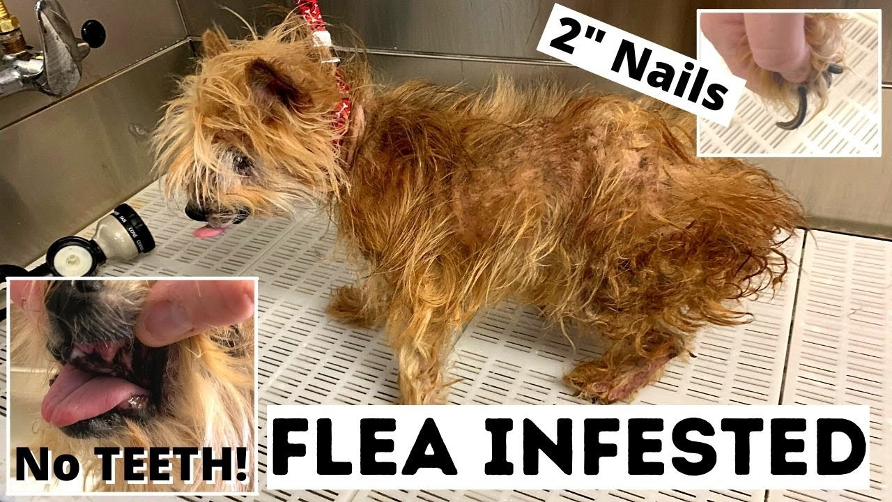 Download Worst Condition I've Ever Seen Sibling | Flea Infested Yorkie | No Teeth!