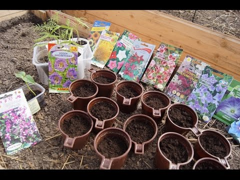 Ипомея - Комнатные растения и