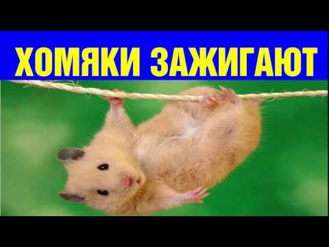 Хомяки очень смешно кушают и не только хомяки