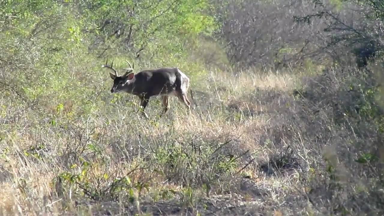 Venado cazado el 22 de enero de 2011 linares n l youtube - Como cazar ratones en casa ...