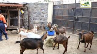 Utugi TV - Dairy Goat Farming Part 1