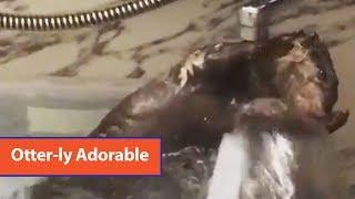 Otter Bathes Under Faucet