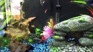 29 gallon freshwater community fish tank set up