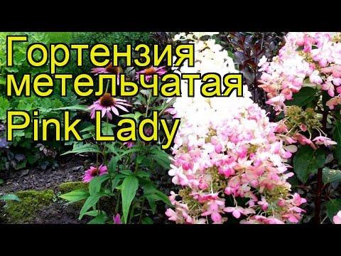 Гортензия метельчатая Пинк Леди. Краткий обзор, описание hydrangea paniculata Pink Lady