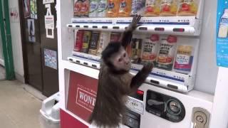 Смешная обезьяна покупает сок