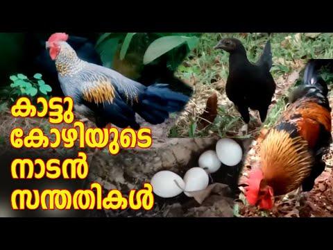 Grey jungle fowl I കാട്ടു കോഴിയുടെ നാടൻ സന്തതികൾ