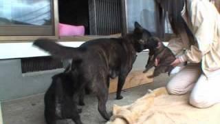 りくの子犬がフェンスに首を挟んでしまった。子犬のおじさんの銀は、カ...