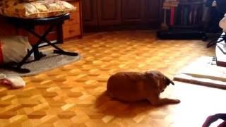 Моя собака Кира) Порода Пти  Брабансон.