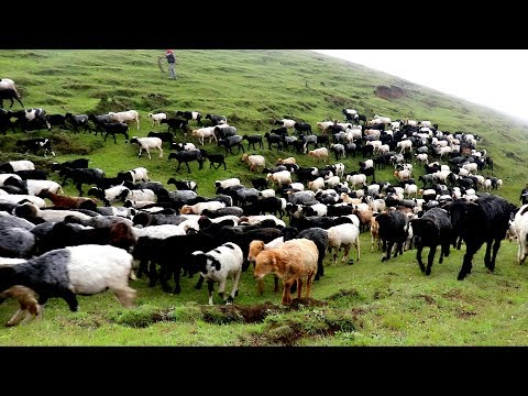 Himalayan Large Sheep Farm in Nepal    Chasing Sheep towards jungle  